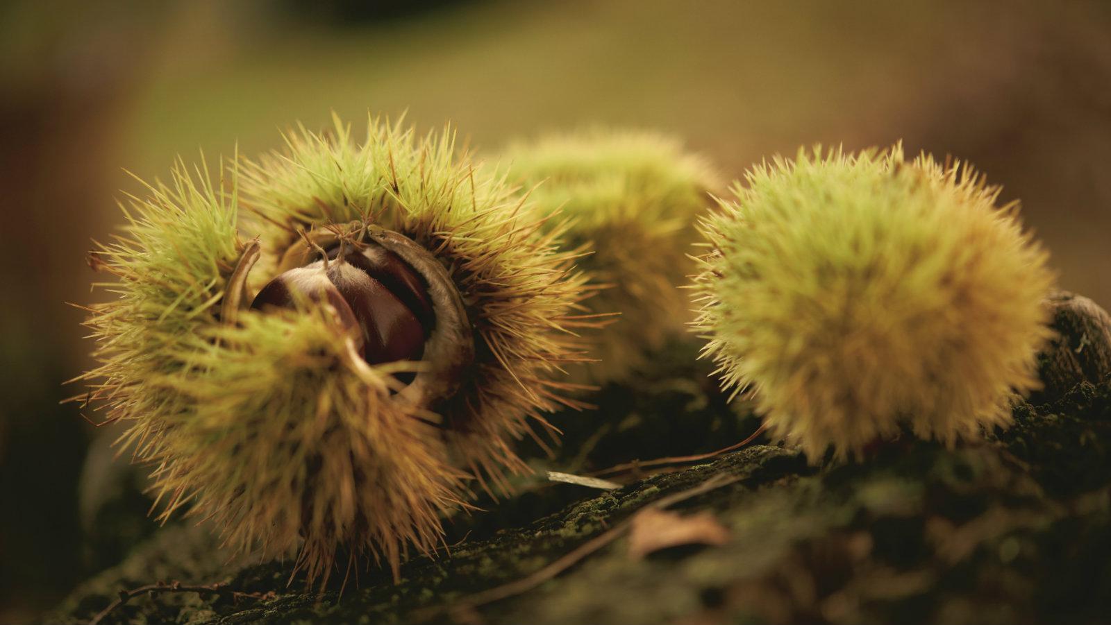 Le vie dell'autunno: dalla castagna allo zafferano